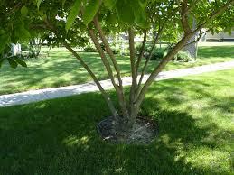 Types Of Garden Trees Outdoor U0026 Garden Design Saucer Magnolia Tree Surrounded By Green