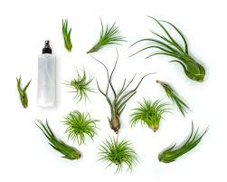 amazon com 3 giant tillandsia caput medusae air plants 8 to 10