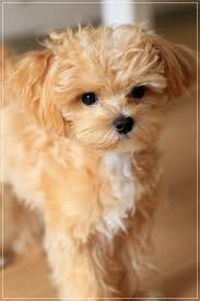 cockapoo vs bichon frise best 25 maltipoo ideas on pinterest small dogs cute small dogs