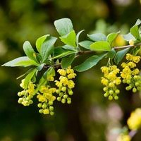 Flowering Shrubs New England - great shrubs with berries for winter interest for new england