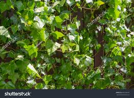 climbing ivy stock photos image 878533