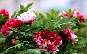 flowers photography blooming flower nature bright peony flowers