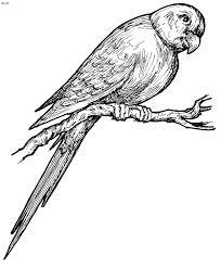 parrot coloring page u2013 kids website for parents