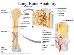 Normal Bone Anatomy And Physiology Skeletal System Biology 211 Anatomy U0026 Physiology 1 Dr Tony Serino