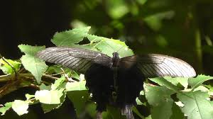large black butterfly monsters