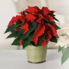 Christmas Plants Christmas Plants Kurtz Florist Hamburg Pa Berks County Flower