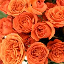 bulk roses orange spray bulk roses