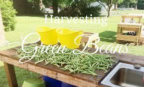 hd harvesting green beans snap beans youtube