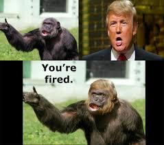 Chimp Meme - trump or monkey donald trump know your meme