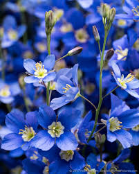 Beautiful Flower Pictures Blue Flax U2013 Heliophila Coronopfolia Beautiful Flower Pictures Blog