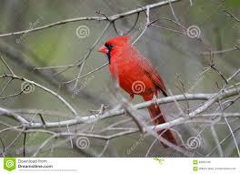 red northern cardinal bird stock photo image 89992439