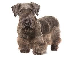 affenpinscher vs brussels griffon dog breeds a comprehensive list of dog breed profiles petmd