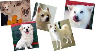 american eskimo dog price in india houston eskimo rescue american eskimo dogs