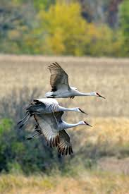 41 best birds cranes images on pinterest animals crane and