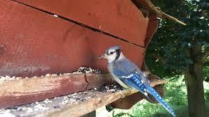 backyard bird feeder young blue jay first time feeding youtube