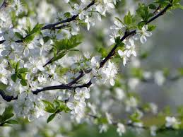free images nature white fruit bloom food green produce