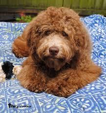 doodle doo labradoodles 159 best labradoodle images on best friends puppies