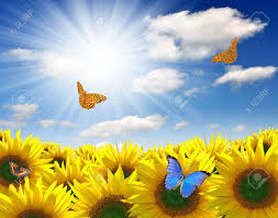 summer sun the sunflower field with butterfly stock photo