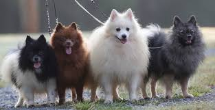 american eskimo dog black kingsfield kennels our german spitz