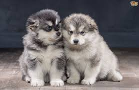 belgian shepherd x malamute alaskan malamute dog breed information buying advice photos and