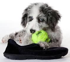 australian shepherd and poodle aussiedoodle