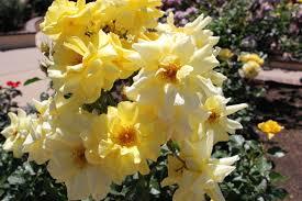 balboa park u0027s rose garden will have you singing inside san diego