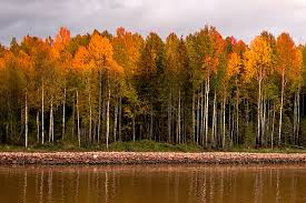 birch trees of russia