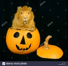halloween photo background halloween pumpkin and guinea pigs pig black plain background sweet