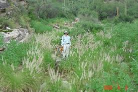 sonoran desert native plants fountain grass saguaro national park u s national park service