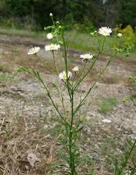 manitoba native plants erigeron strigosus wikipedia