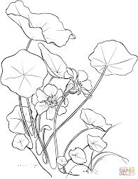 tropaeolum majus or garden nasturtium coloring page free
