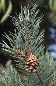 trees of ohio scotch pine