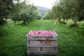 8 pick your own organic or heirloom apple orchards to visit this