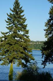 douglas fir tree 49 best douglas fir images on douglas fir fir tree