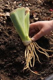 Irises How To Plant Grow by American Iris Society Growing Bearded Irises Good Soil