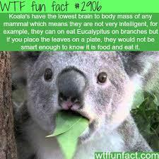 19 koalas images koalas koala bears 9