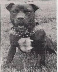 american pit bull terrier history garner u0027s chinaman american pit bull terrier pinterest pit