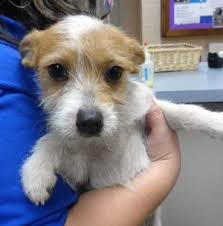 haircut ideas for long hair jack russell dogs pictures of mario a wirehaired fox terrier jack russell terrier