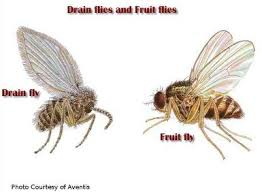 fruit flies in sink get rid of fruit flies gnats in the kitchen fast easy natural