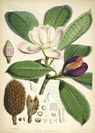 talauma hodgsoni artscult com pinterest flowers
