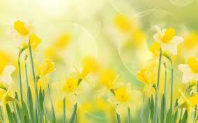 spring daffodils widescreen full hd wallpaper free