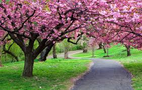 blossom trees pictures of cherry blossom trees mforum