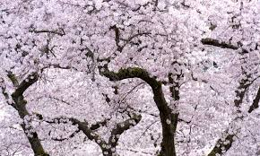 cherry blossom tree facts cotton candy trees spotted in vancouver explore awesome