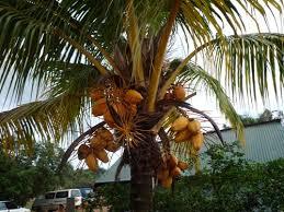 Mango Boom manya boom nica s