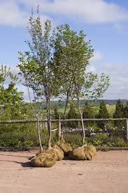 dallas tree sales buy new trees tree planting service trees for