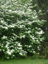care of mock orange bush growing conditions for mock orange