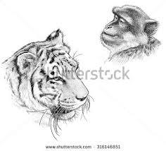 tiger drawing stock images royalty free images u0026 vectors