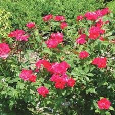 Roses For Sale Knock Out Roses For Sale Knock Out Roses From Stark Bro U0027s