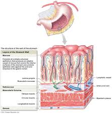 Anatomy Structure Of Human Body Digestive System