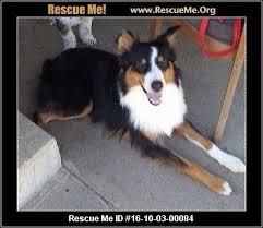 adopt a australian shepherd australian shepherd blog u2015 rescueme org